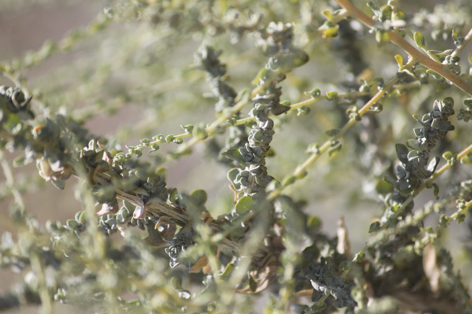 A close-up of the leaves of the Desert Salt Bush.