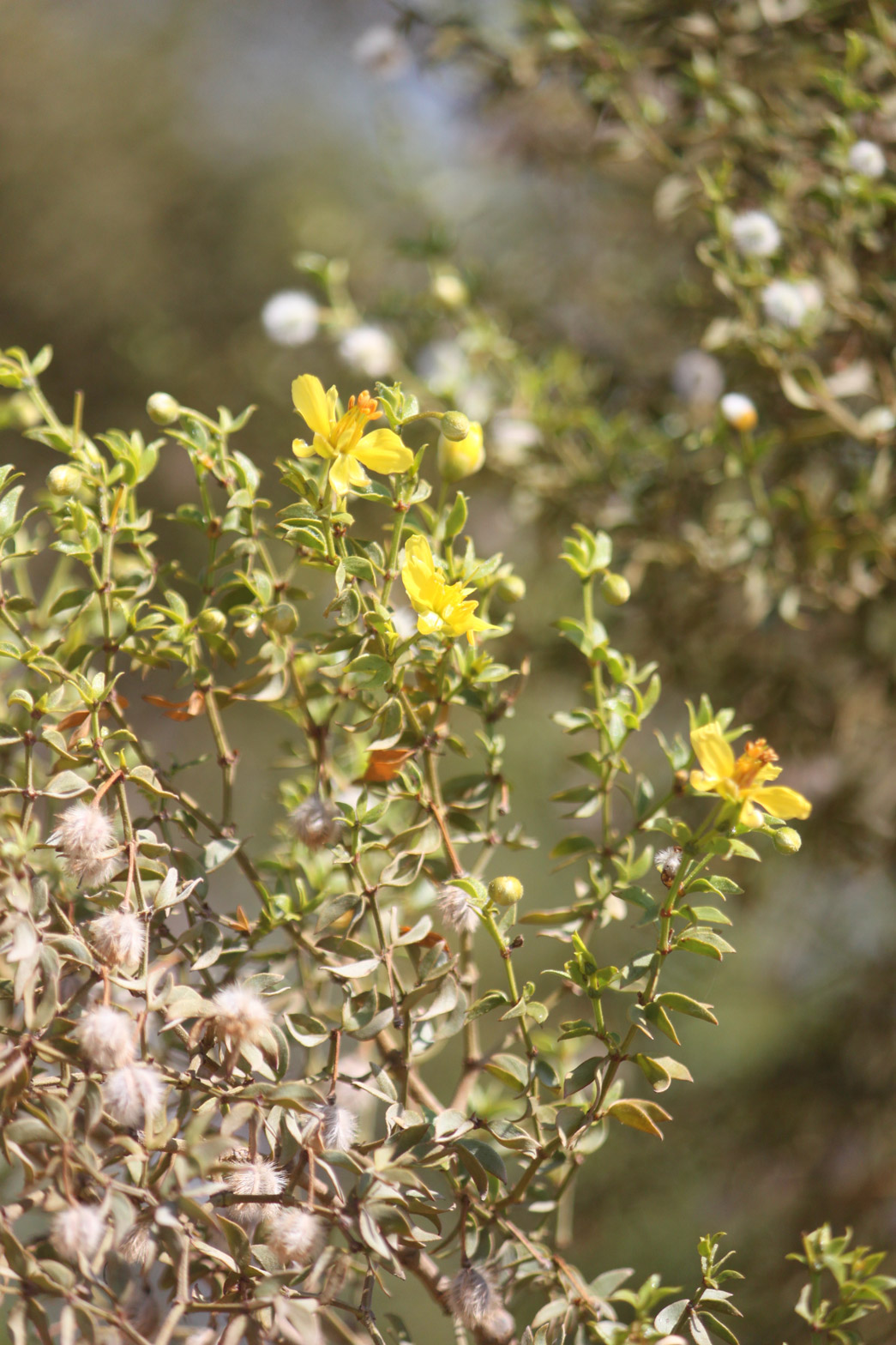 A close-up of the yellow flowers of the Creosote.
