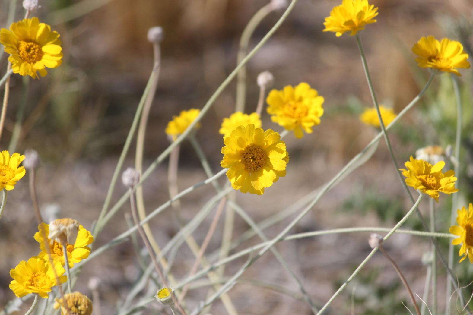 A close-up of Desert Marigold flowers.