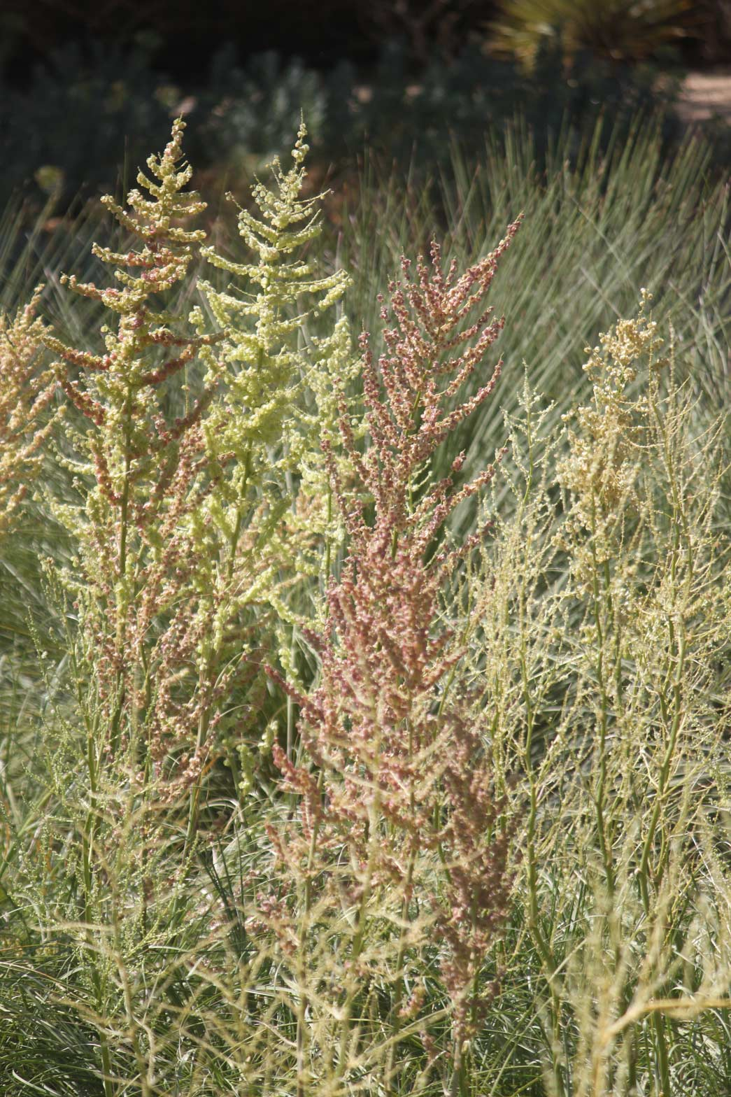 A group Texas Bear Grasses blooming.
