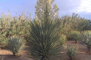 A Beaked Yucca blooms in the Gardens.