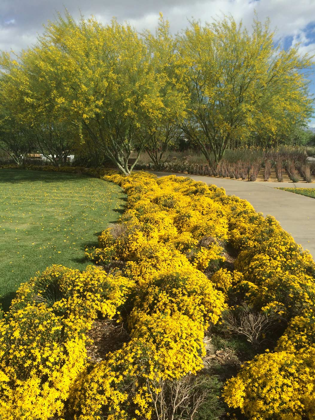 The right side of the Great Lawn with bright yellow Damianita blooms bordering the lawn sits in the foreground. In the background, the lawn is bordered by blooming Palo Verde trees.