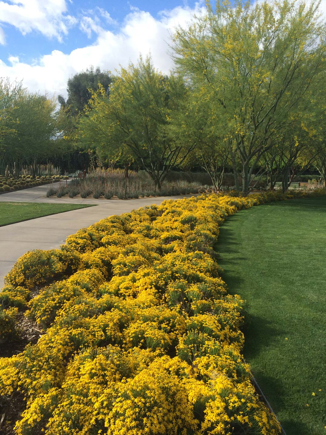 The left side of the Great Lawn with bright yellow Damianita blooms bordering the lawn sits in the foreground. In the background, the lawn is bordered by blooming Palo Verde trees.
