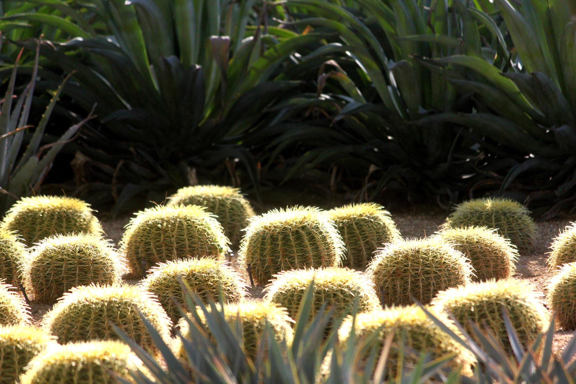 The glowing crowns of a group of Golden Barrel cacti backlit by the sun.