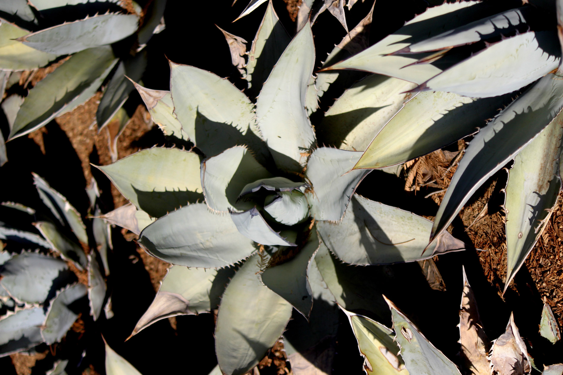 A top-down view of the Gentry Agave.
