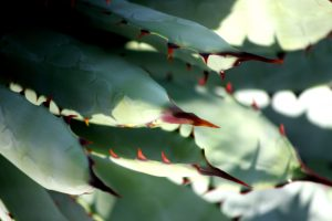 A close-up of the leaves and spines of the Black-spined Agave.