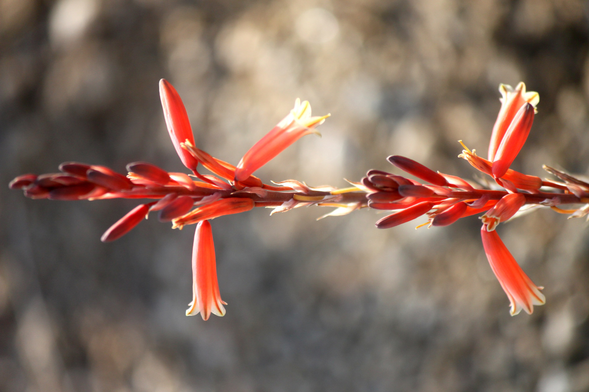 A close-up of the tubular flowers of Blue Elf Aloe.