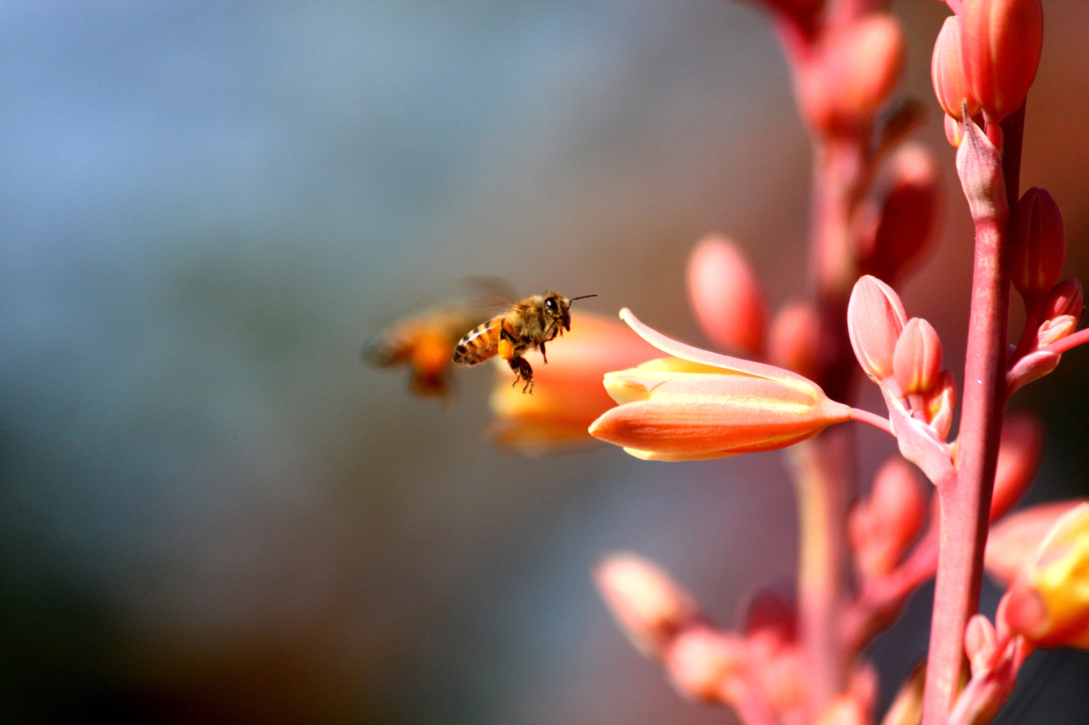 A bee visits Red Hesperaloe flowers.