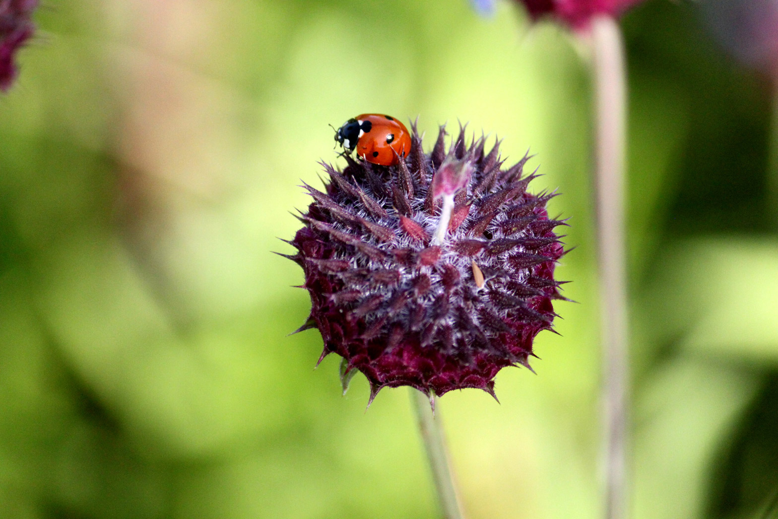 A Ladybug sits atop a purple Chia flower.