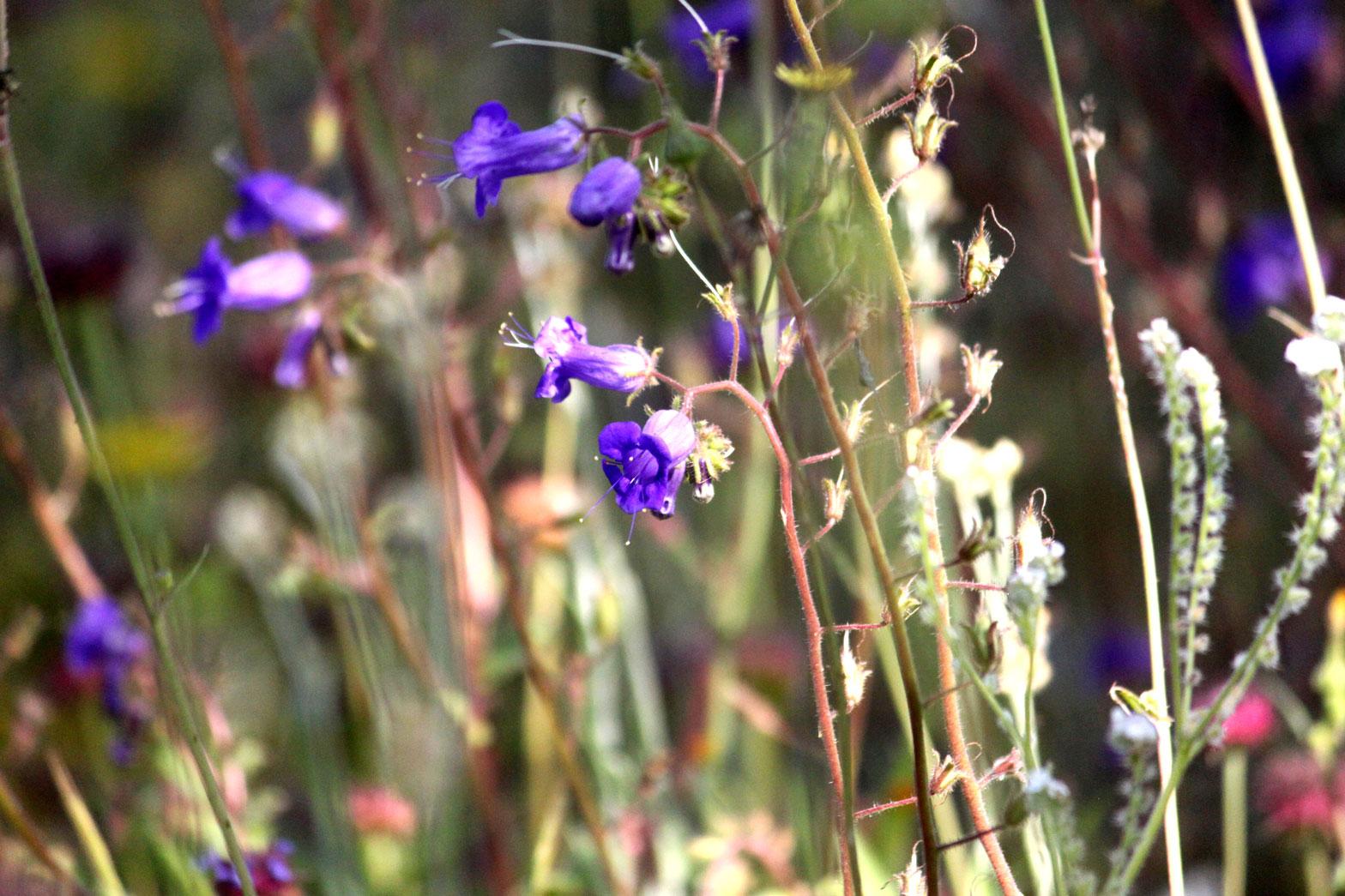 Desert Canterbury Bell flowers blooming in the Wildflower Field.