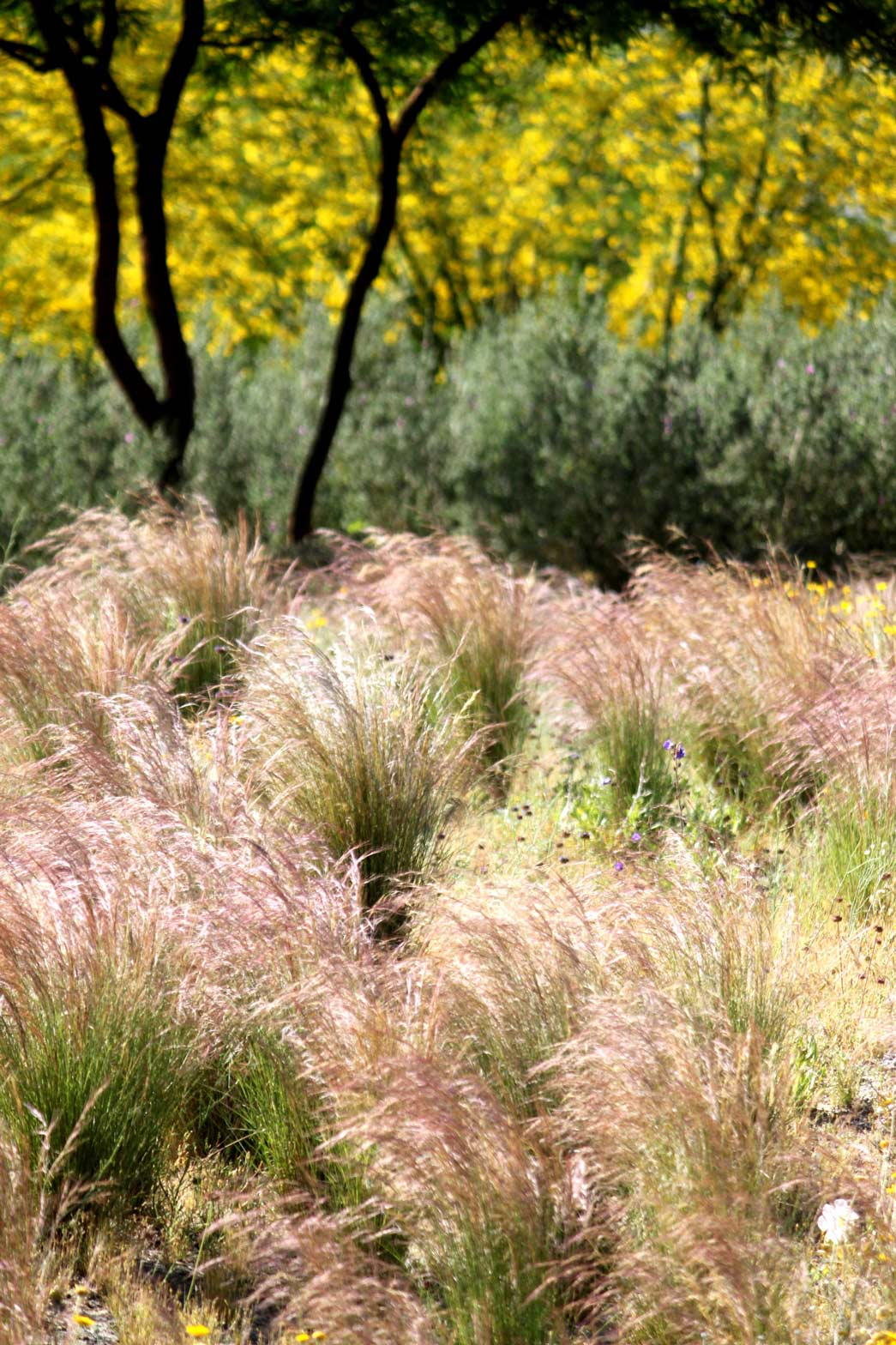 Purple Threeawn grows in the Wildflower Field.