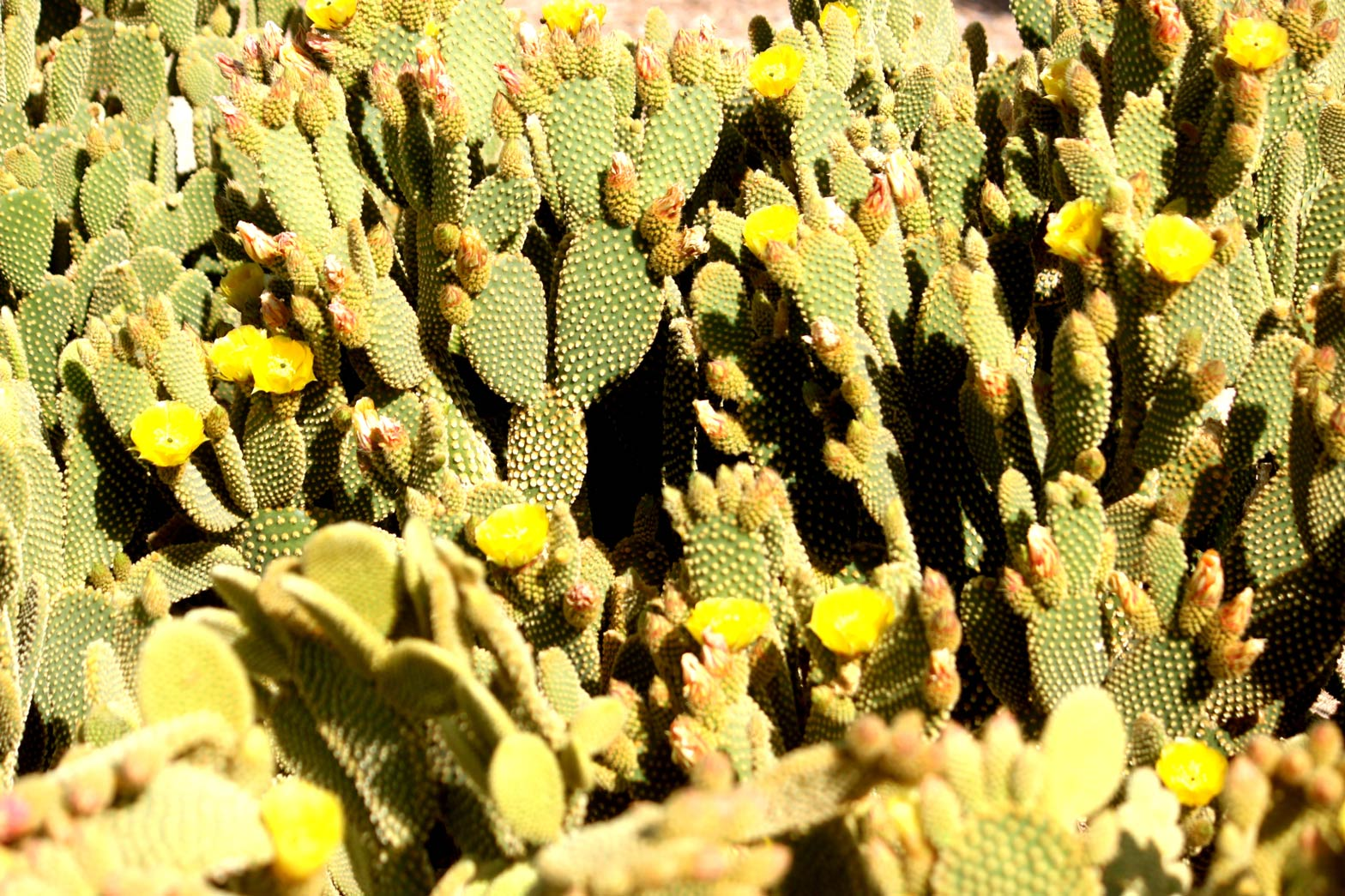 A Bunny Ear cactus with multiple yellow flowers blooming.