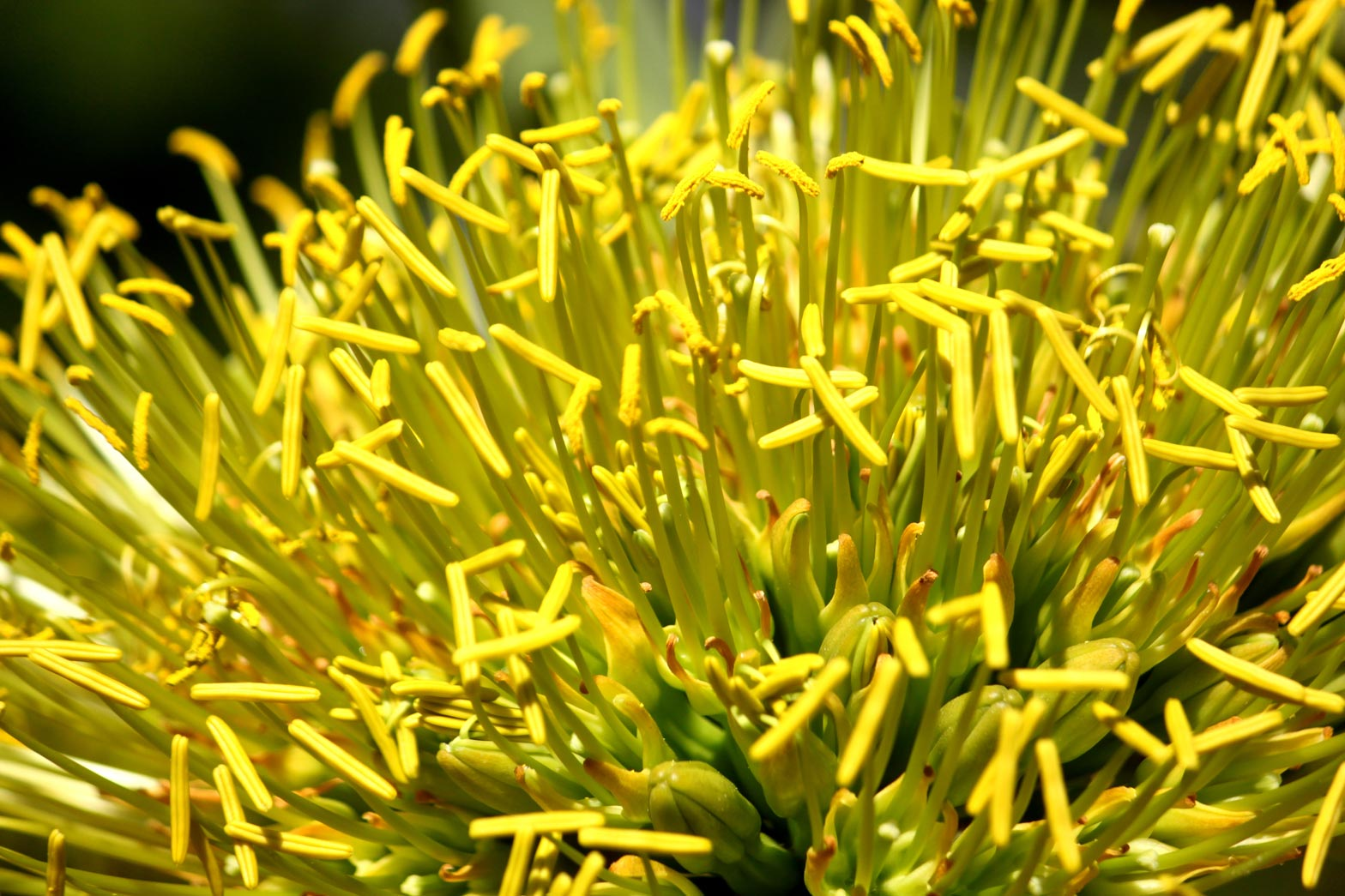 A close-up of the yellow flowers of the Smooth Agave.