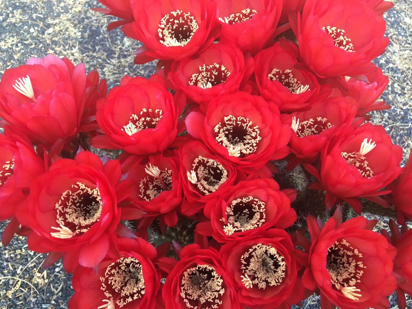 Several bright red Torch Cactus flowers bloom.