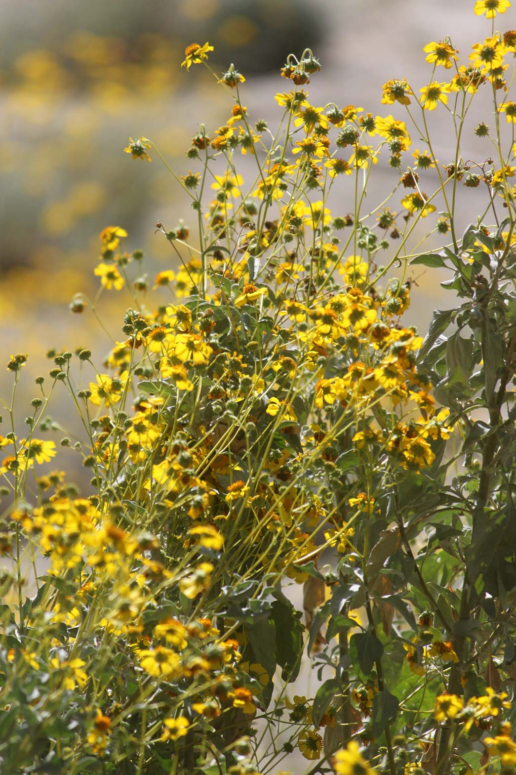 A Brittlebush with yellow blooms in the Wildflower Field at Sunnylands Center & Gardens.