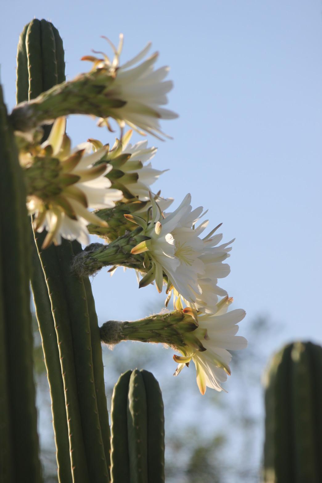 White San Pedro blooms.