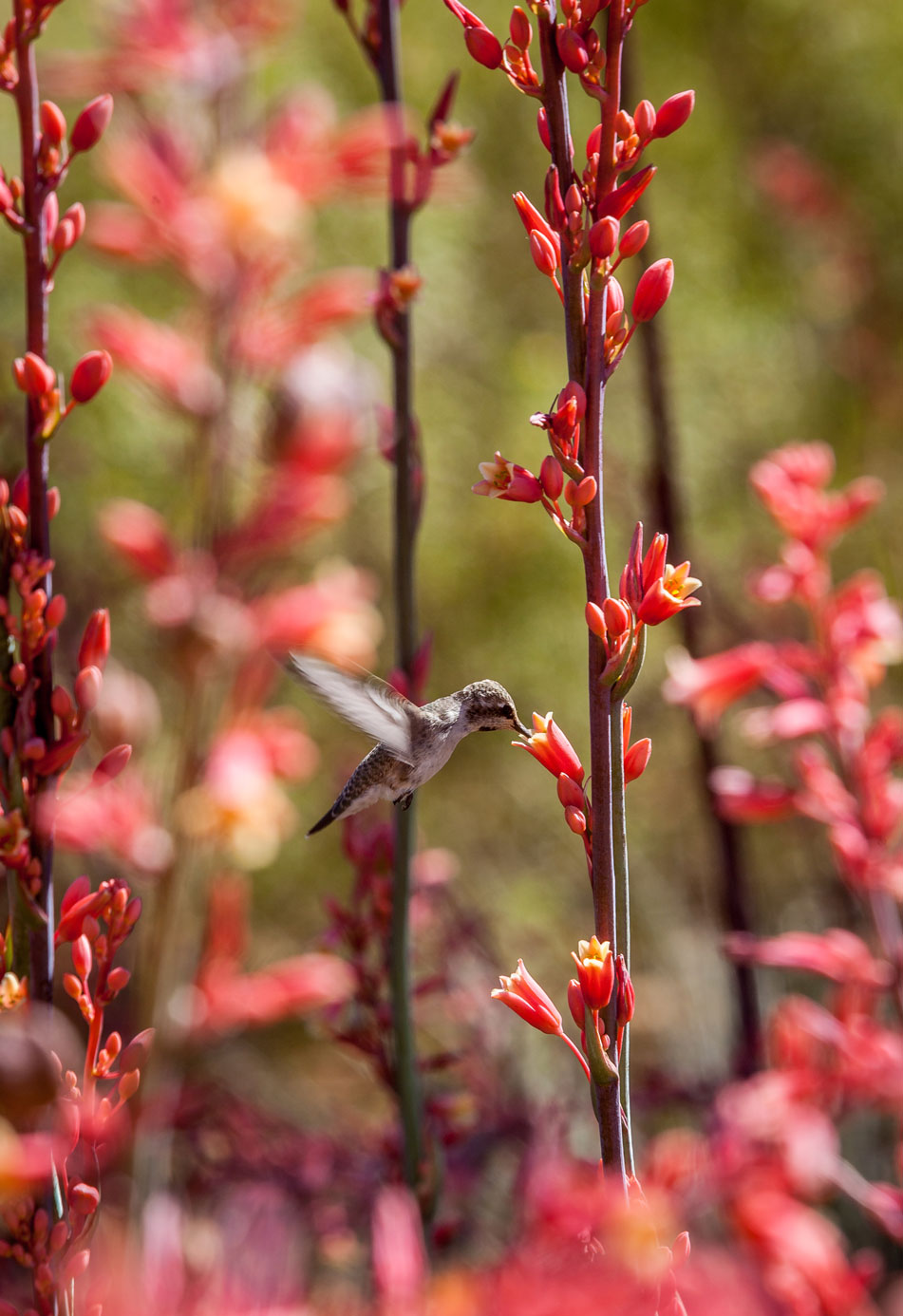 A hummingbird looking for nectar from Red Hesperaloe flowers.