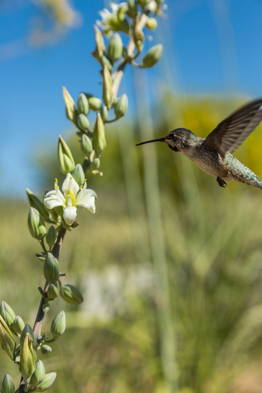 A hummingbird feeds on Giant Hesperaloe flowers.