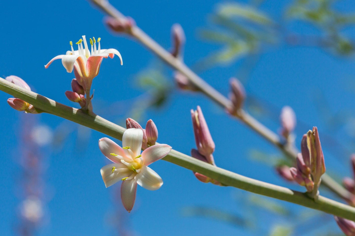 A close-up of Giant Hesperaloe flowers against a blue sky.