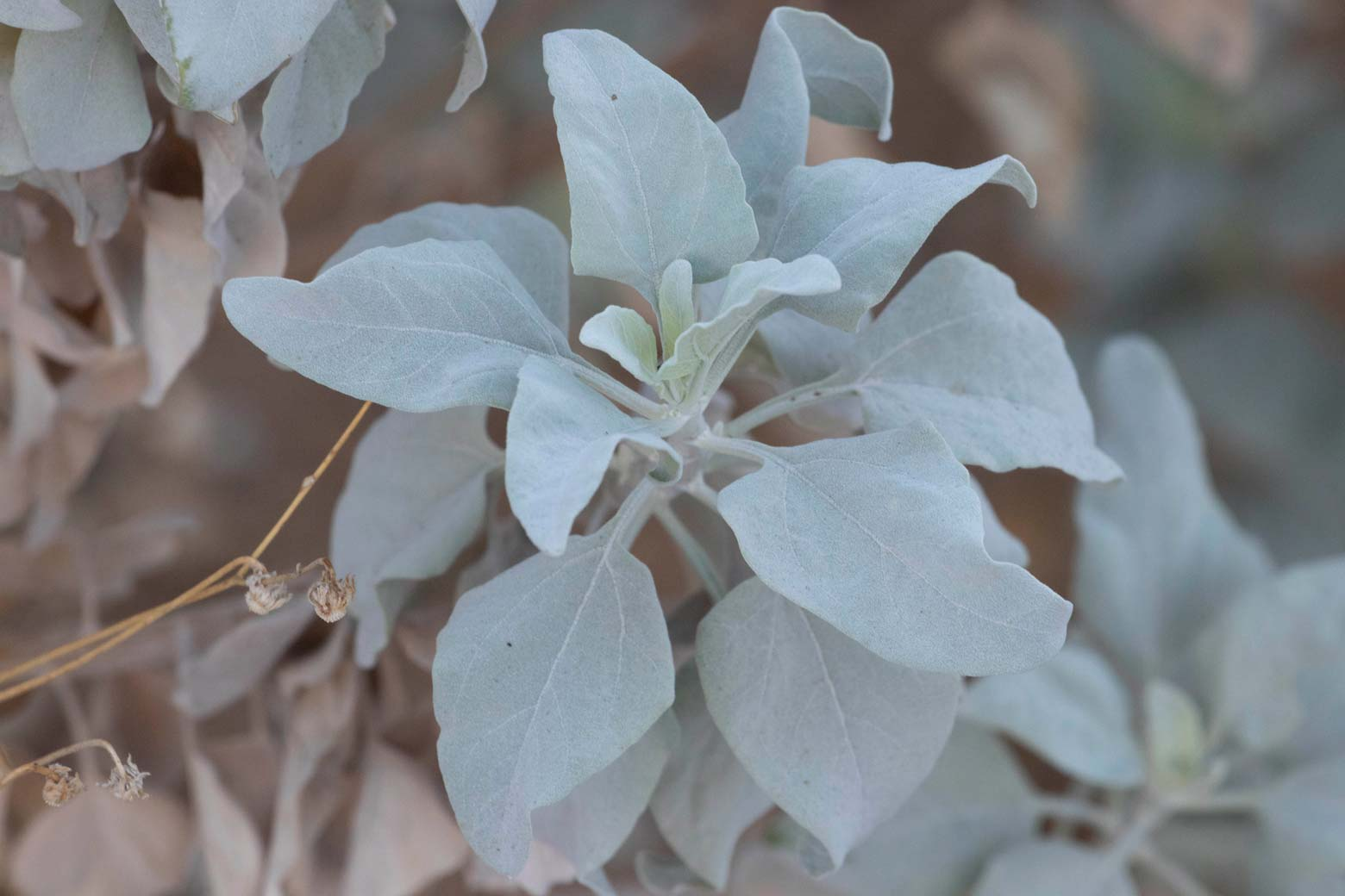 A close up of the leaves of a Brittlebush.