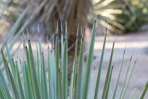 A close-up of the leaves of the Beaked Yucca.