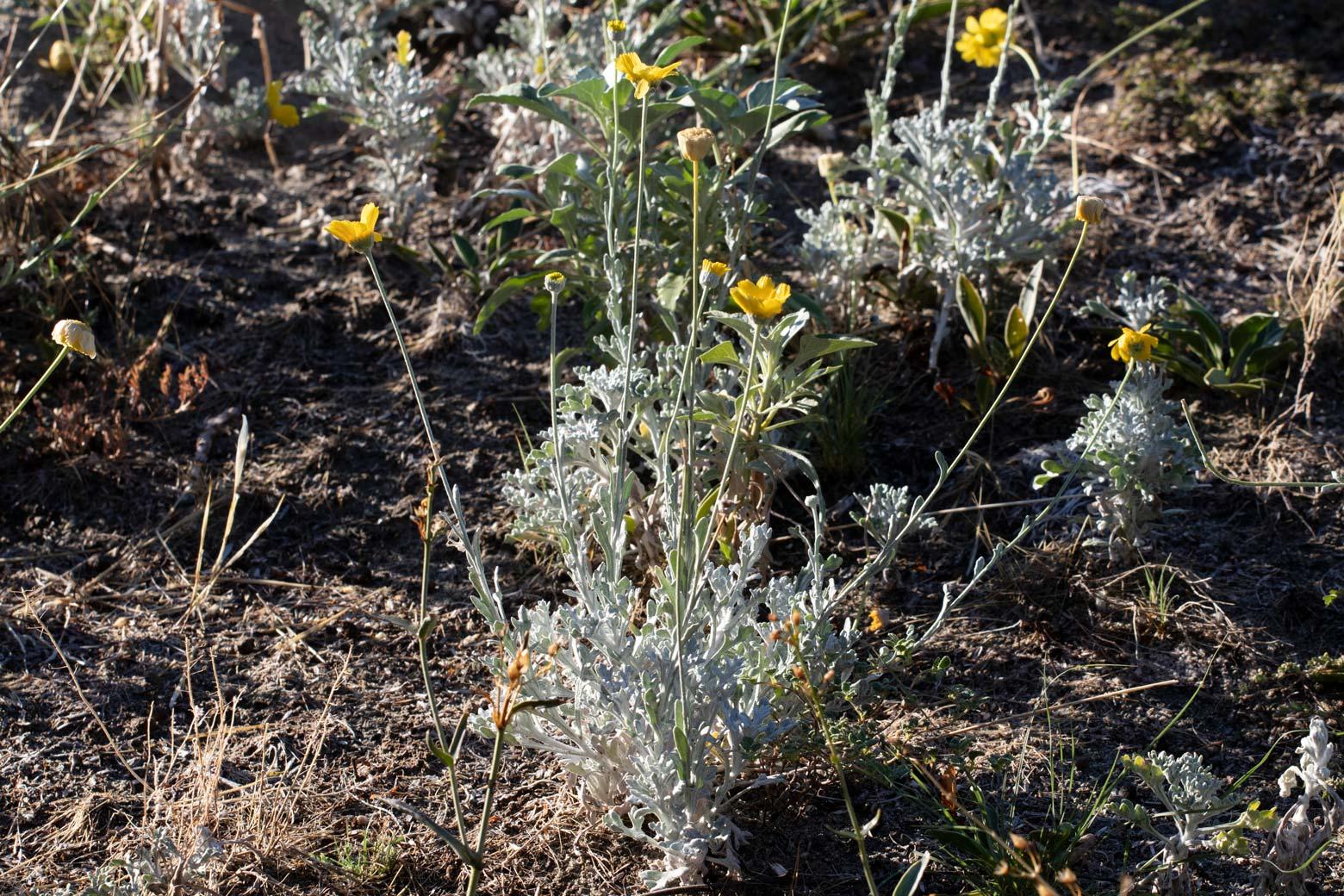Desert Marigold blooms in the Wildflower Field at Sunnylands Center and Gardens.