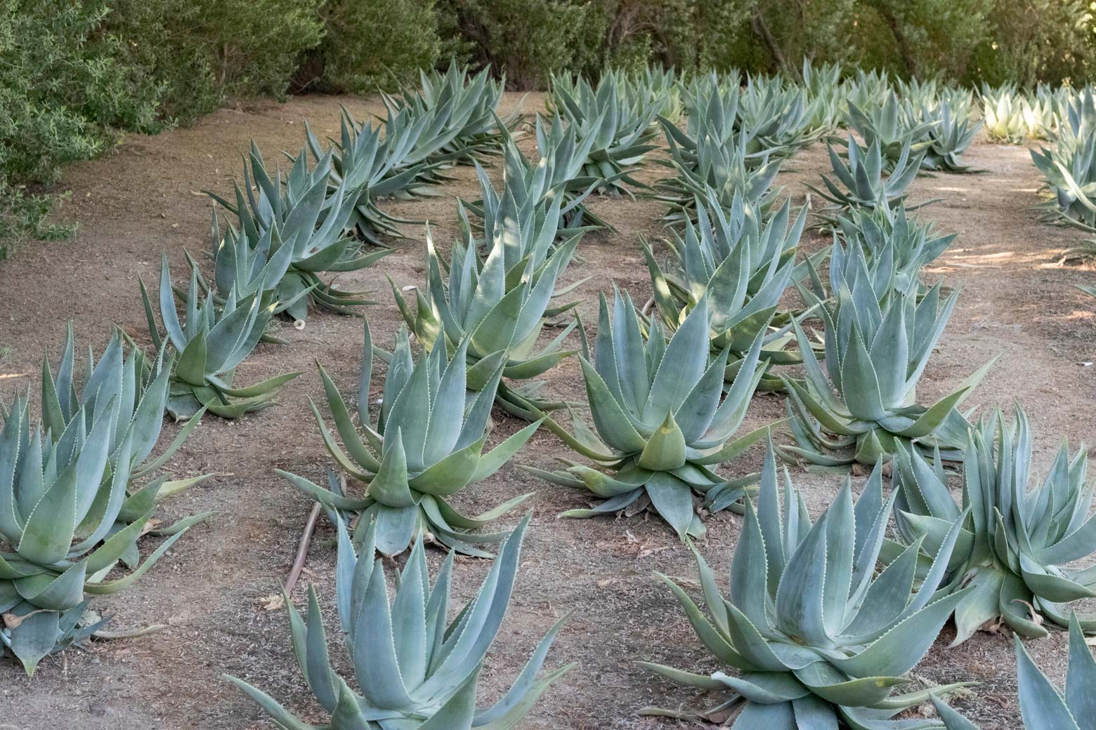 A grouping of Ghost Aloe.