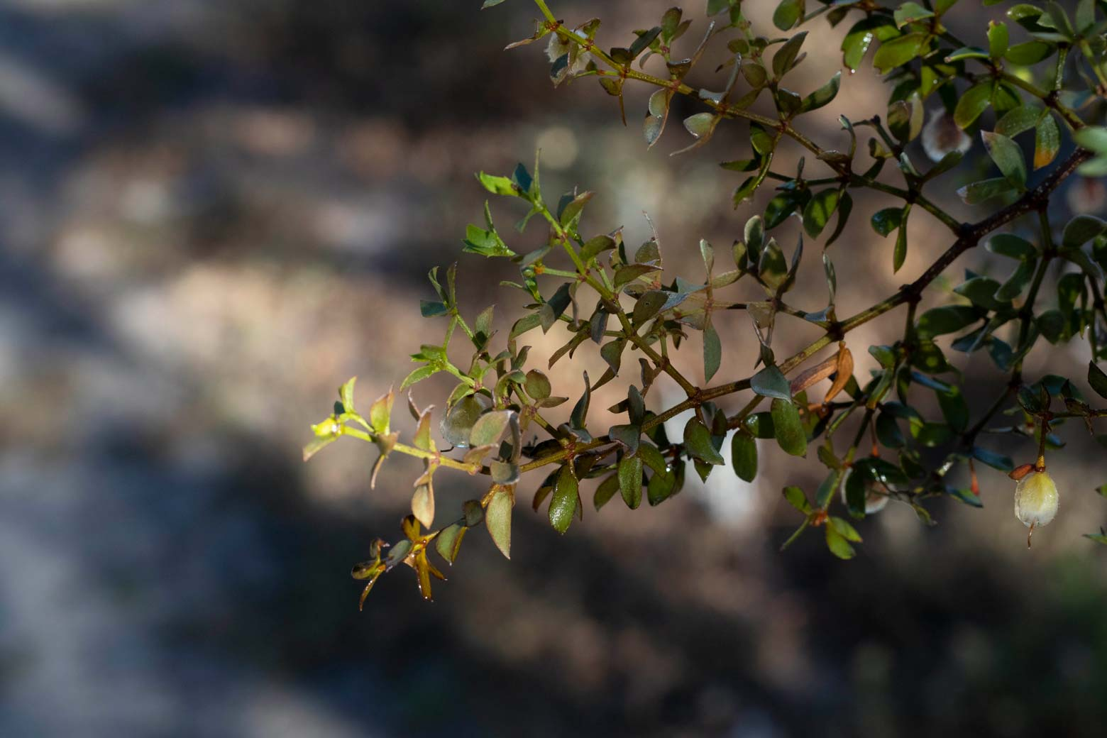 A close-up of the leaves of a Creosote bush.