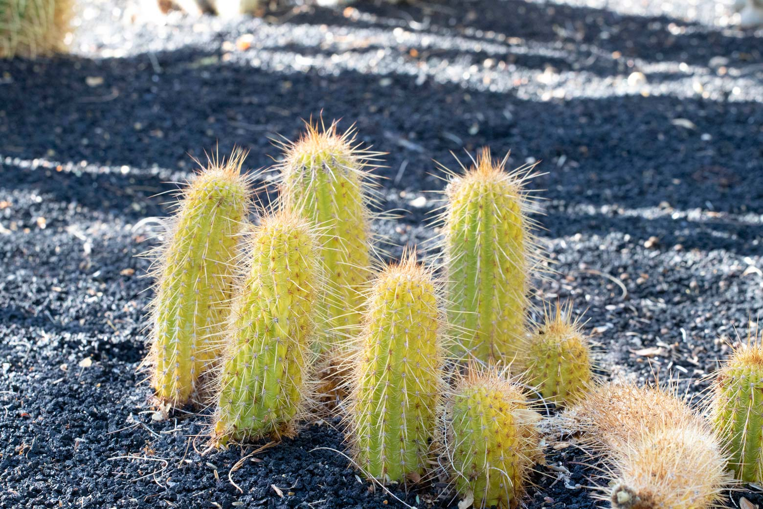 A group of small Torch cactus in the specimen bed.
