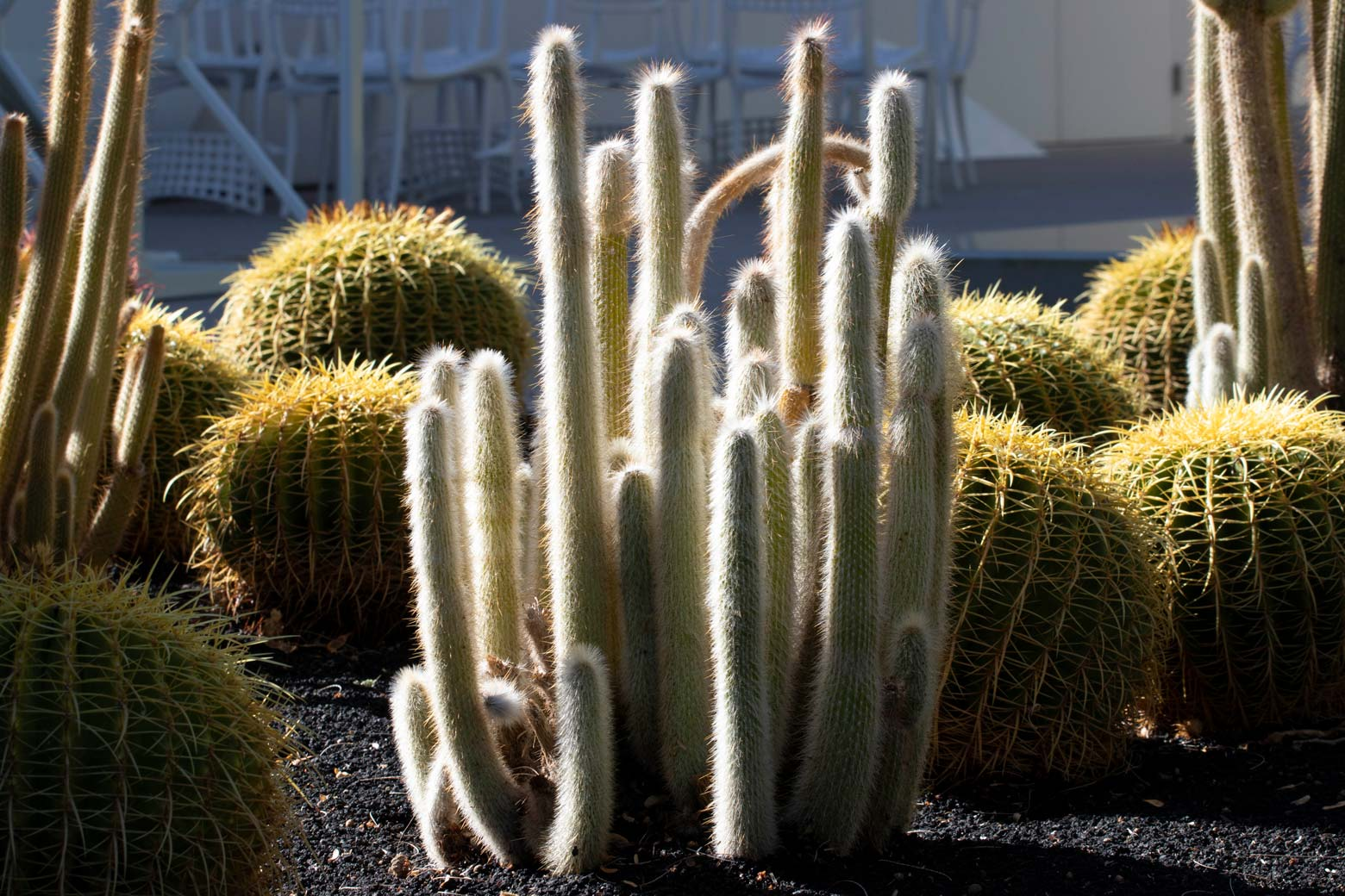 A Silver Torch cactus without blooms in the specimen bed.