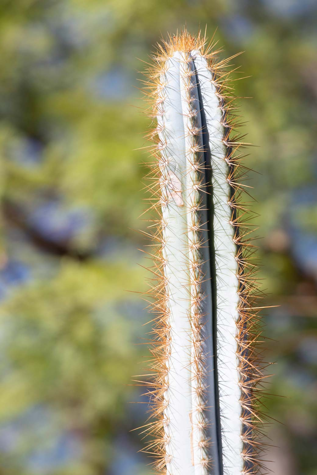 A close-up of the Blue Torch cactus.