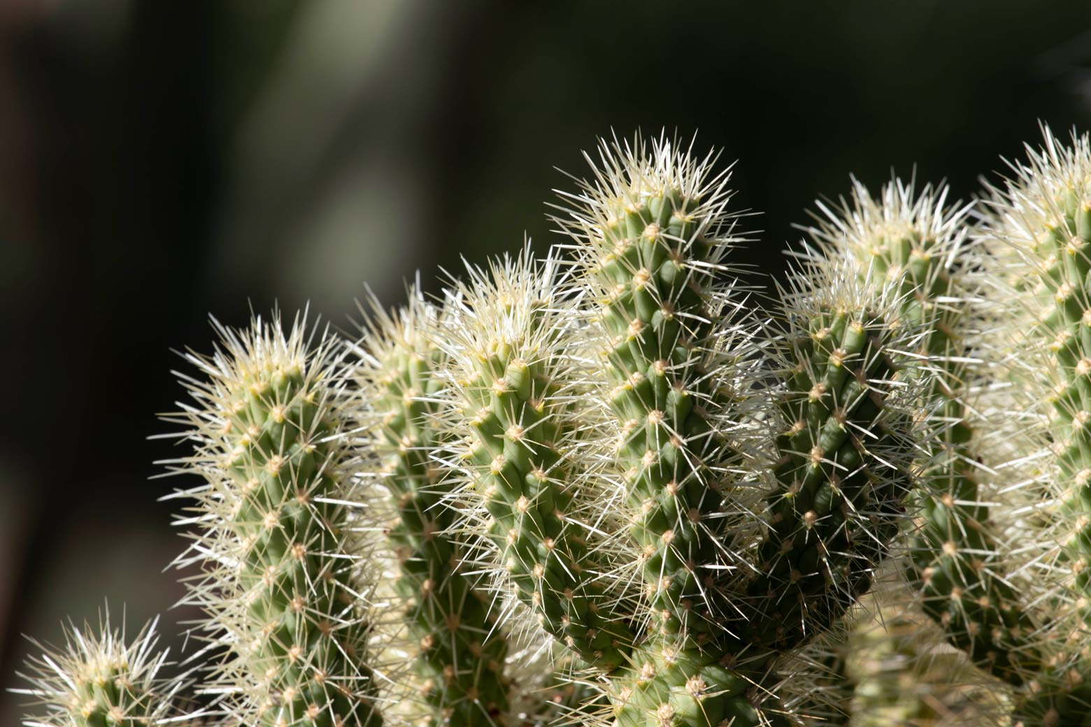A close-up of the spines of the Teddy Bear Cholla.