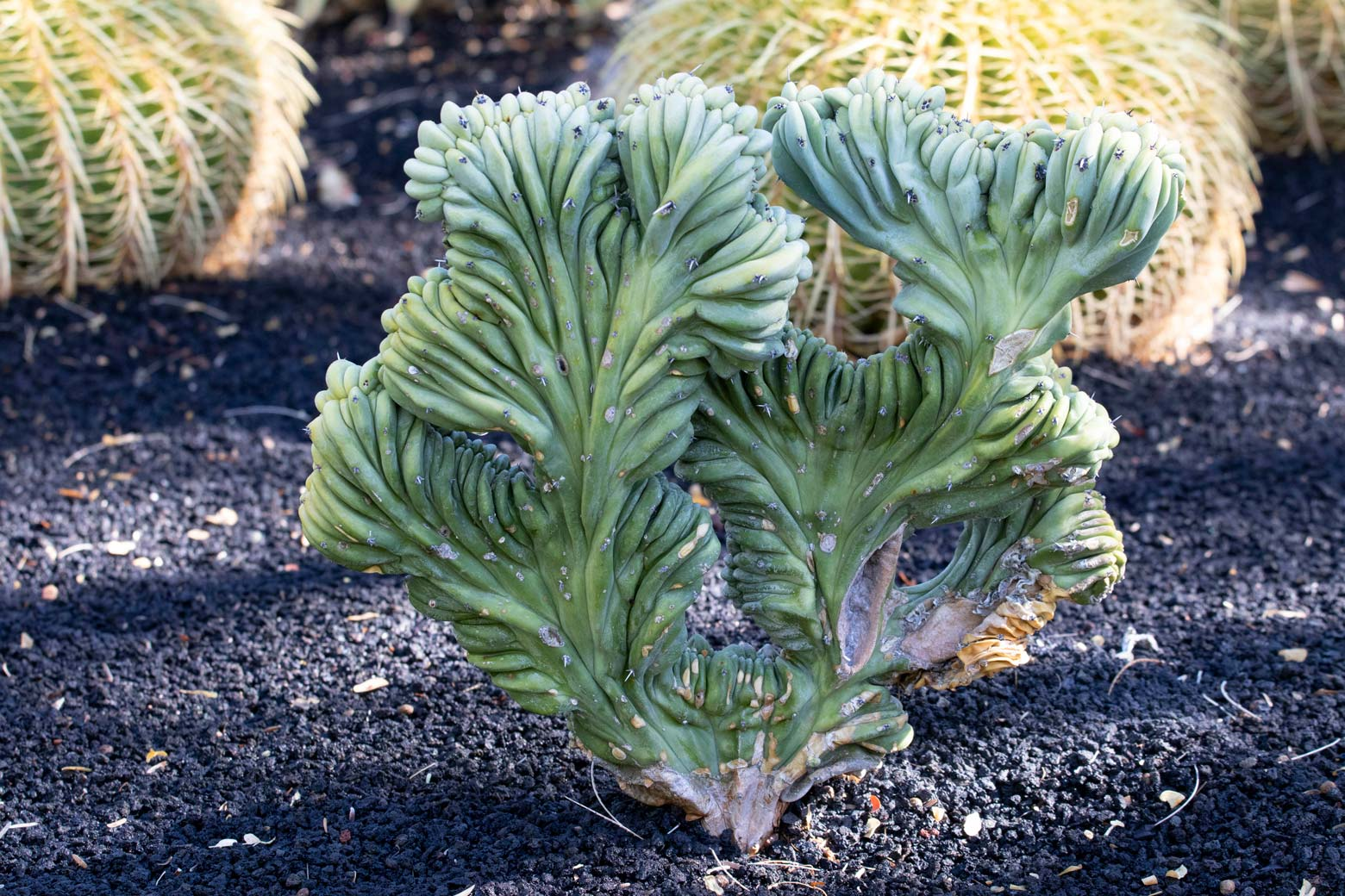 A Crested Blue Flame cactus in the specimen beds at Sunnylands Center and Gardens.