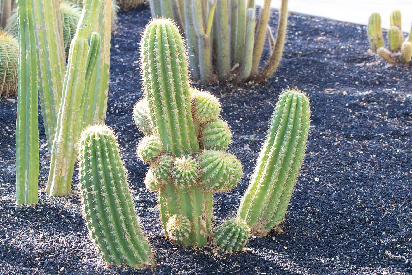 A larger Torch Cactus specimen in the specimen bed.