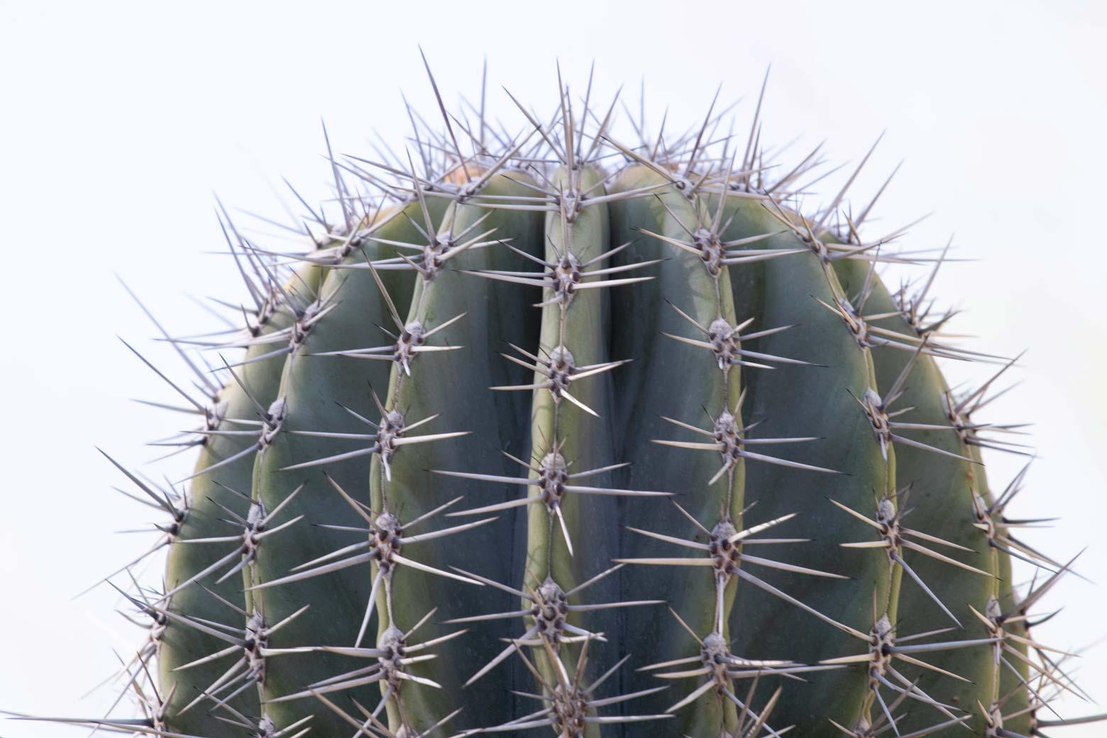 A close-up of the top of a Cardon cactus.
