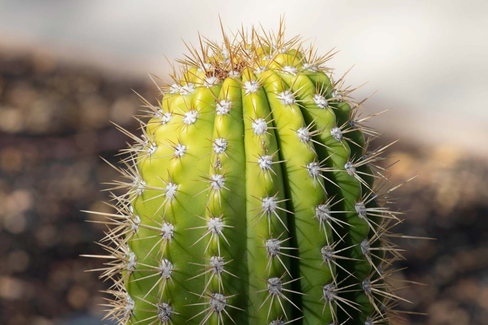 A close-up of the top of a Torch cactus.