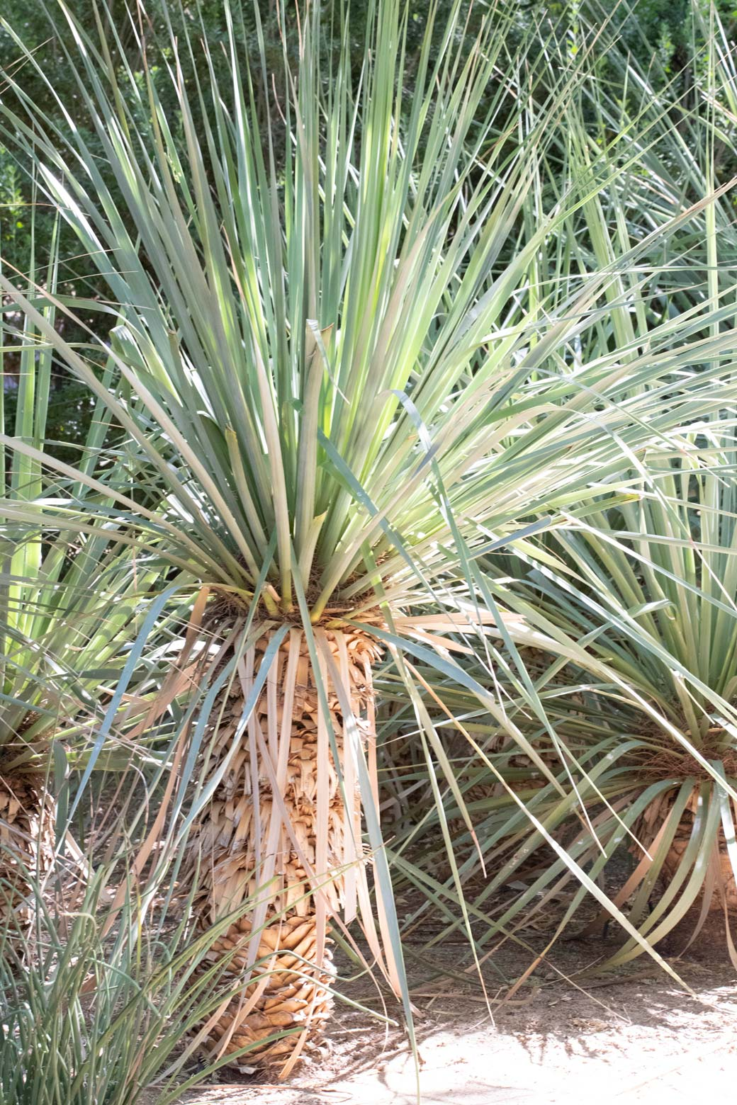 A single Beaked Yucca in the Gardens.