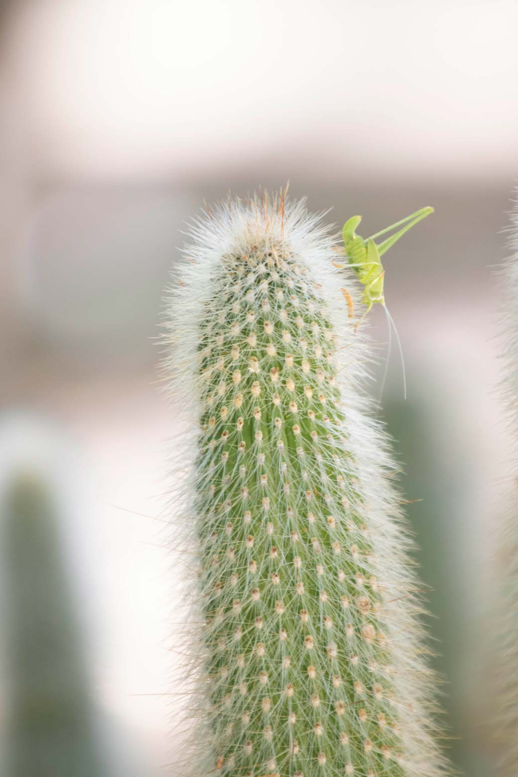 A grasshopper sits on the top of a Silver Torch cactus.
