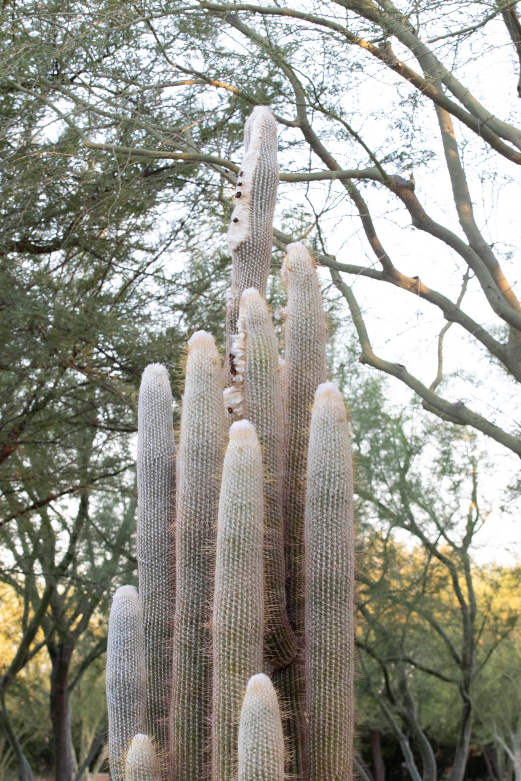 An Old Lady Cactus in the specimen bed at Sunnylands Center & Gardens.