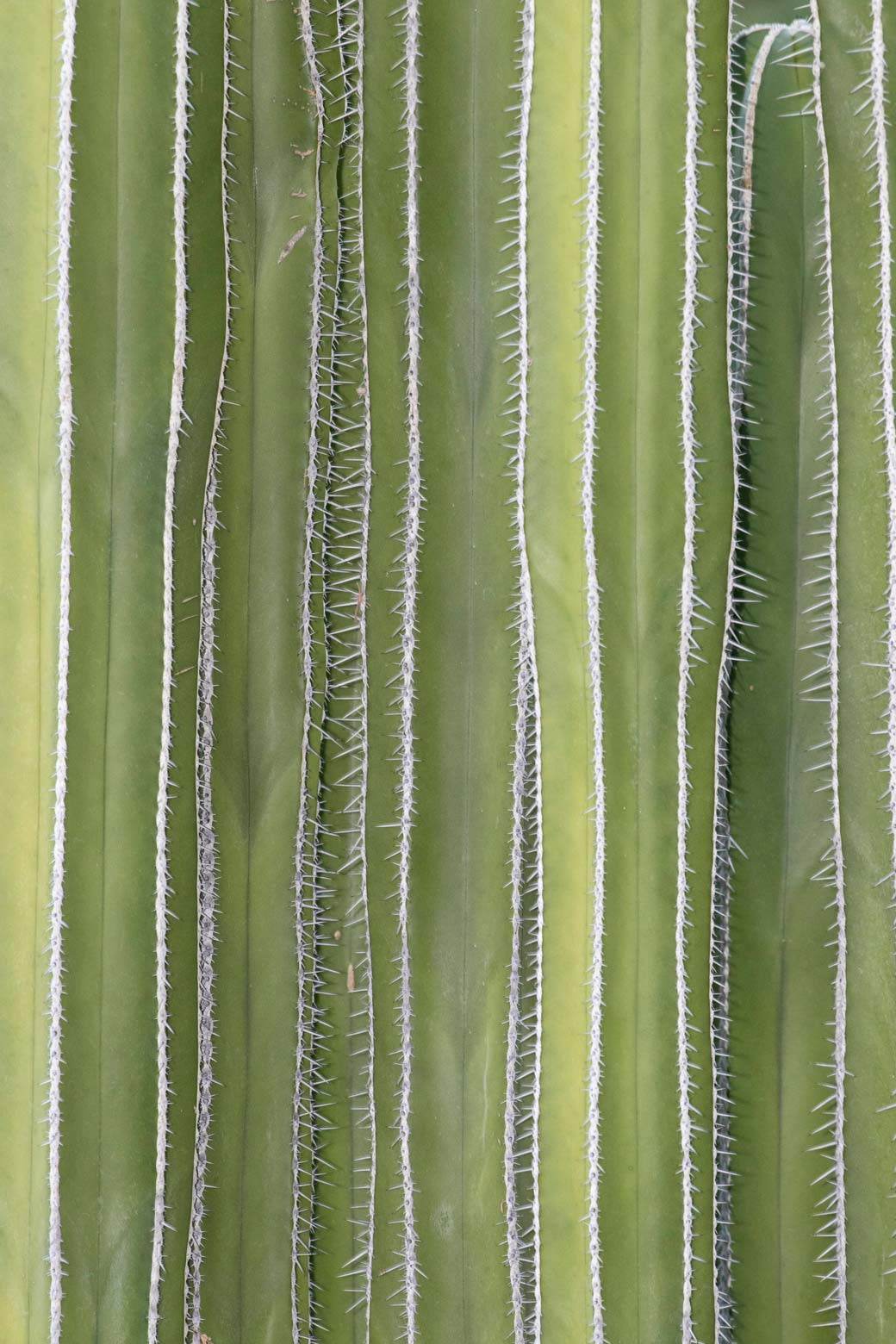 A close-up of the ribs and spines of a Fencepost cactus.