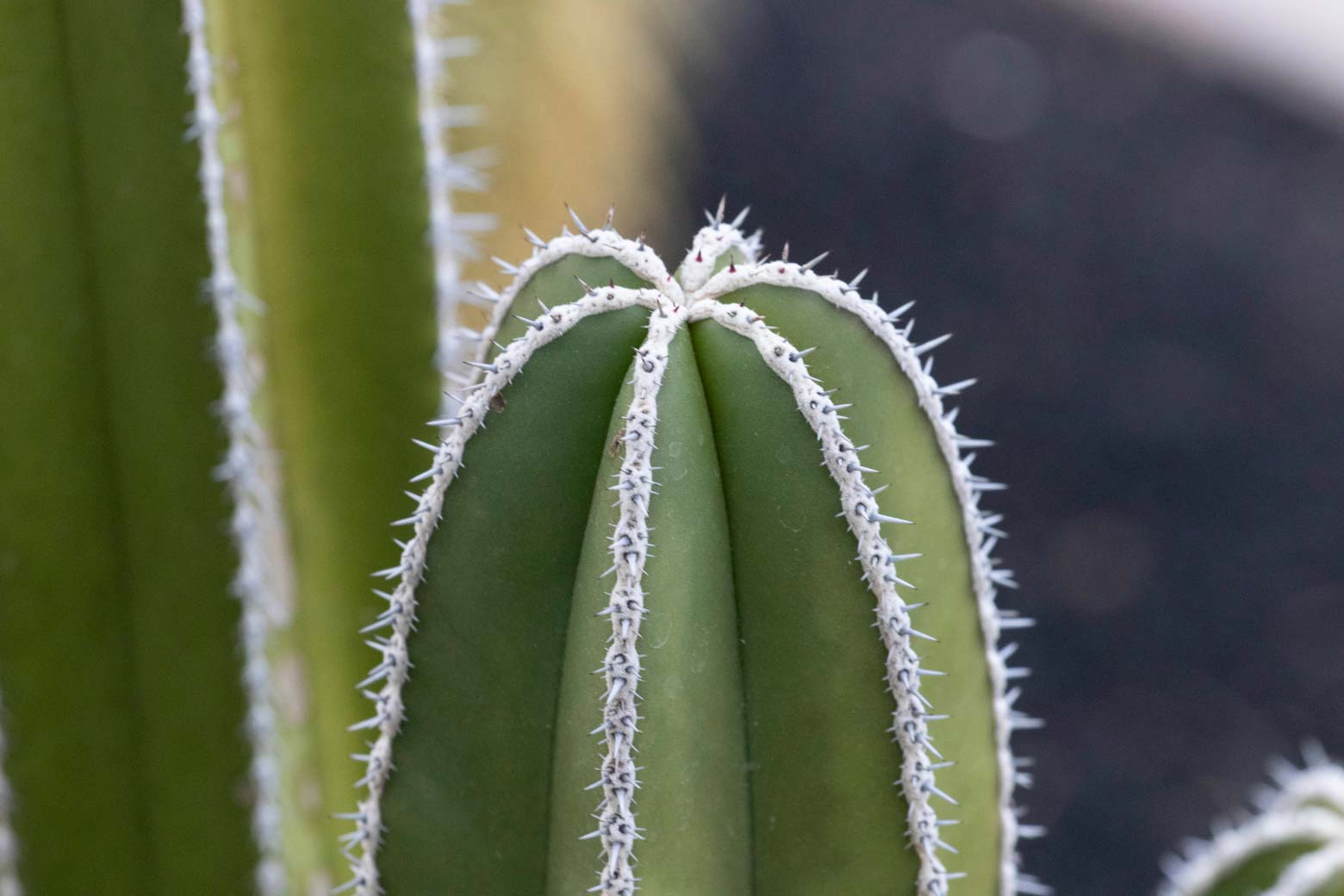 A close-up of the top of a Fencepost cactus.