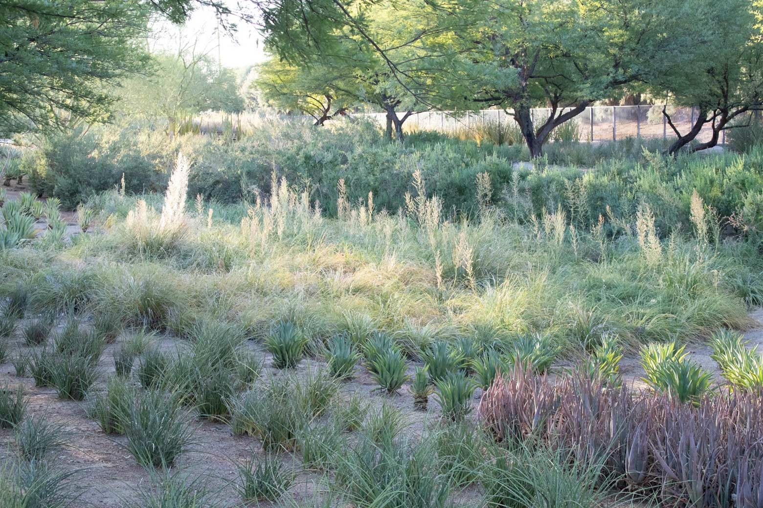 Texas Bear Grass in the retention basin at Sunnylands Center and Gardens.
