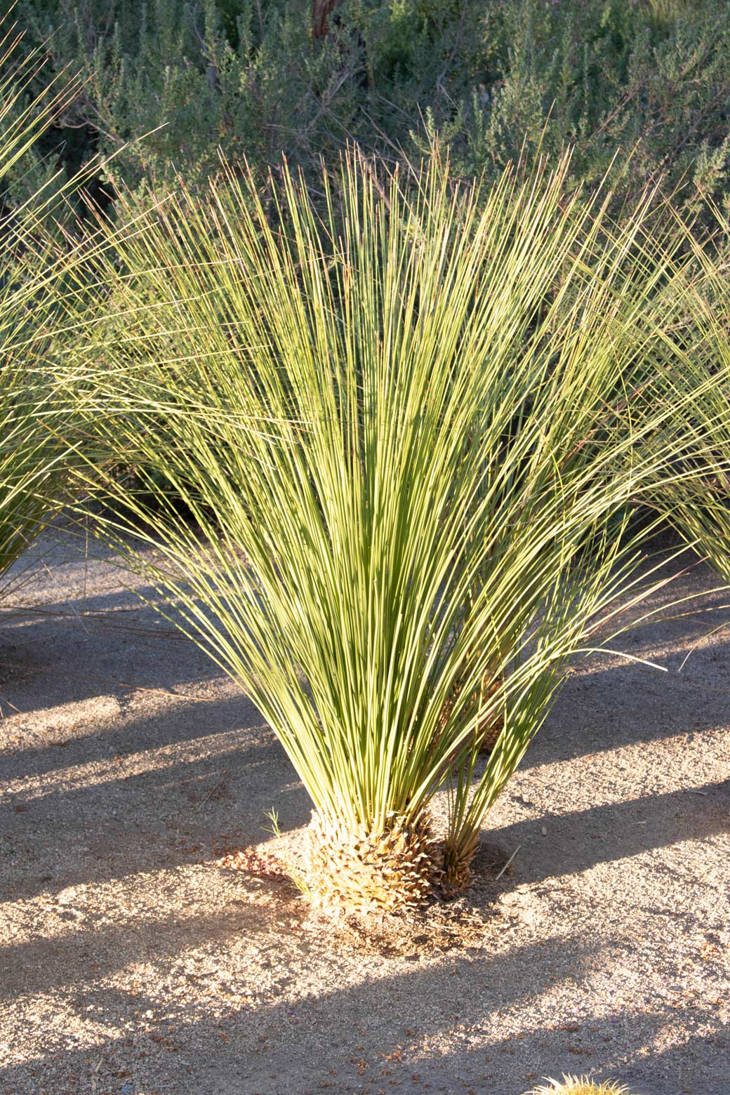 A single Mexican Grass Tree specimen.