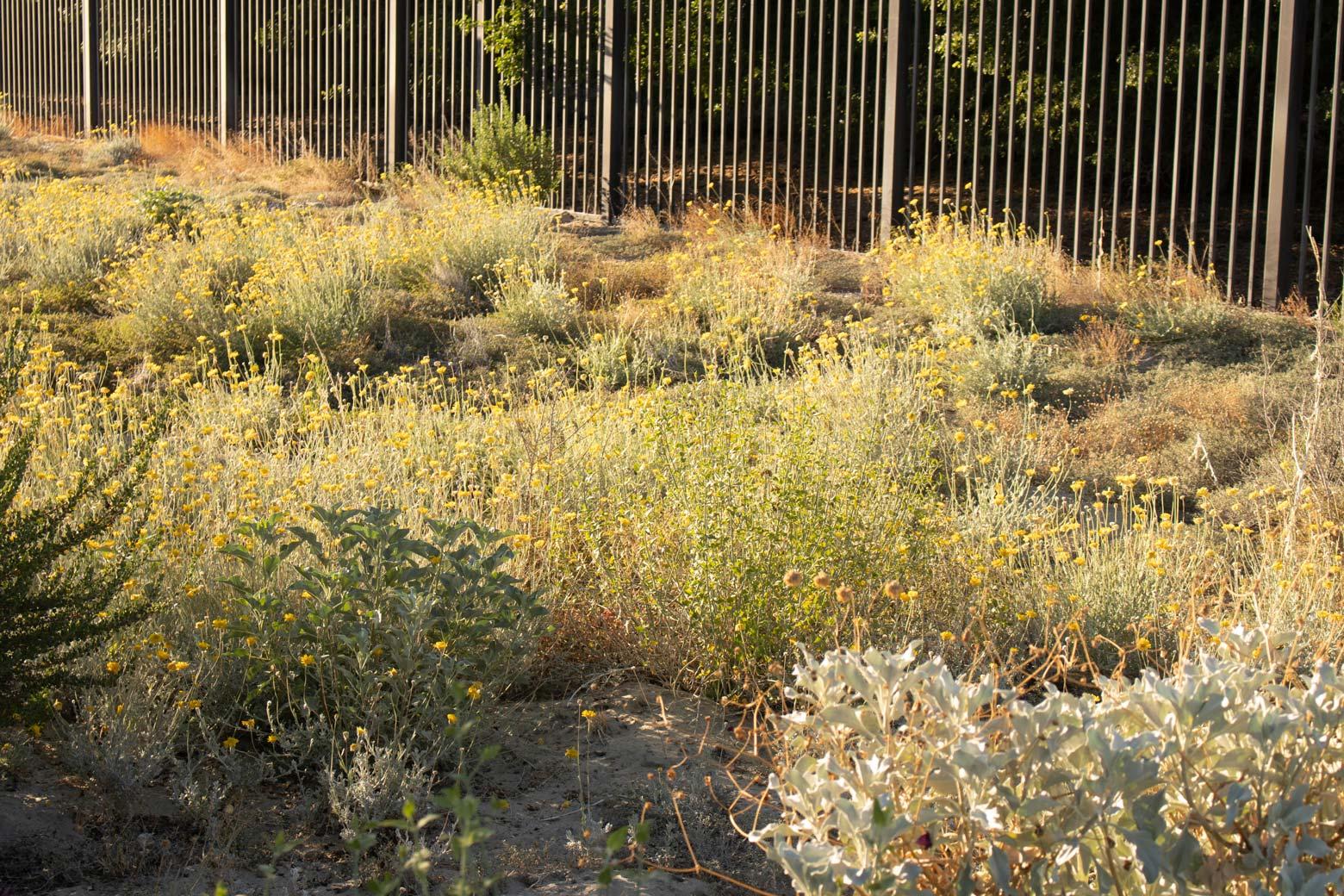 Desert Marigold blooms in the Wildflower Field at Sunnylands Center and Gardens