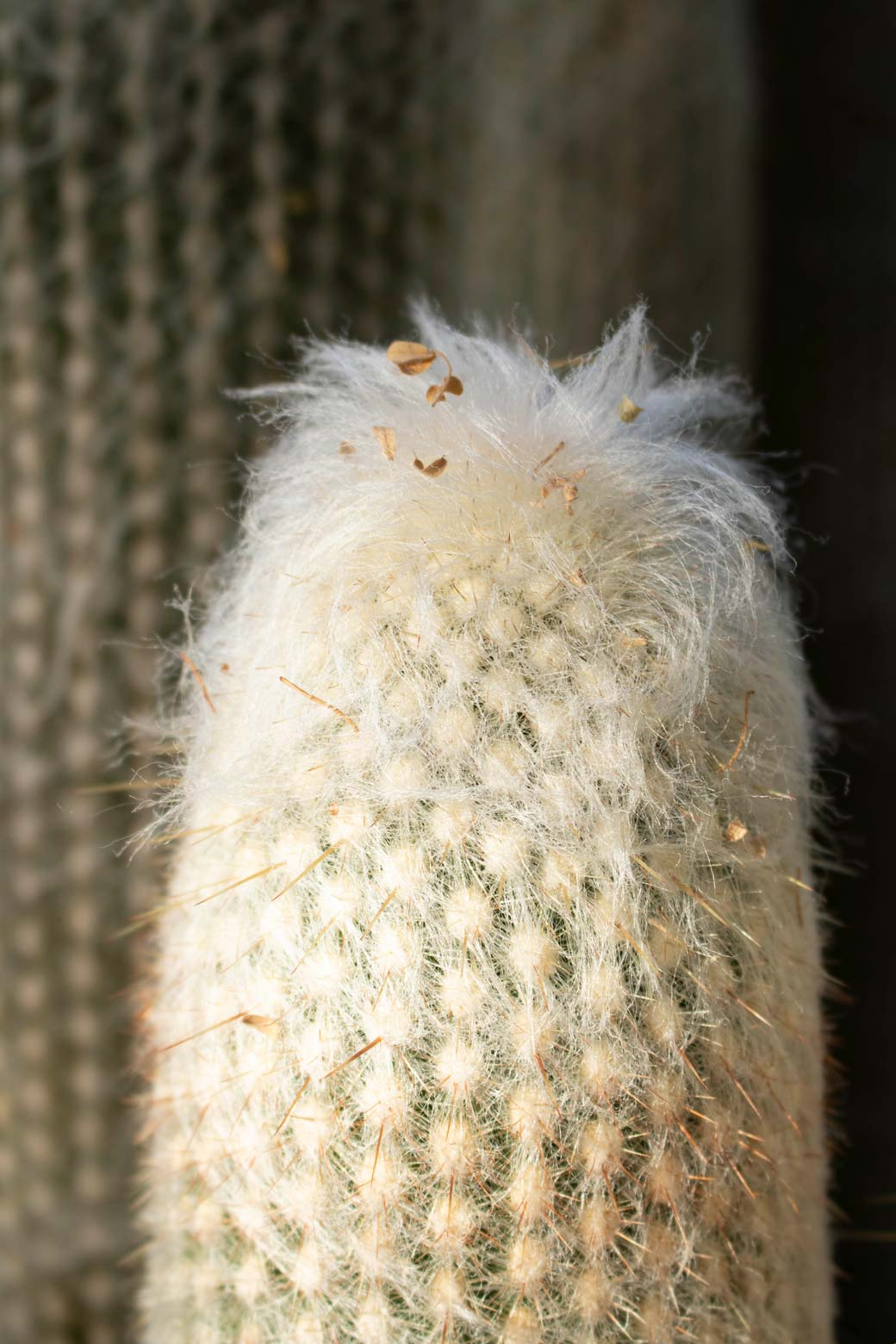 A close-up of the top of an Old Lady Cactus.