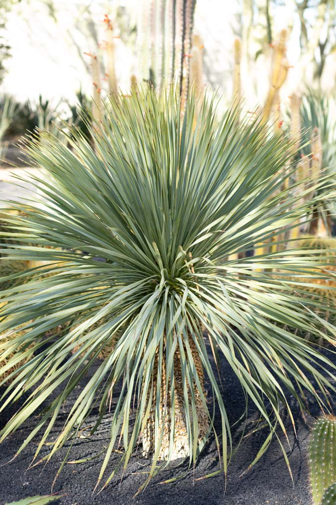 A Beaked Yucca in the specimen beds.