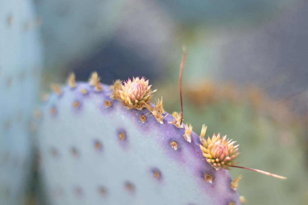 New growth on the Santa Rita Cactus.