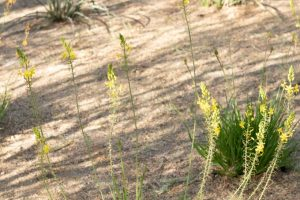 African bulbine plant with yellow flowers in the gardens.