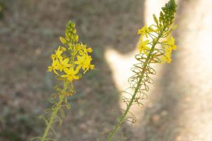 Yellow flowers of the African Bulbine.