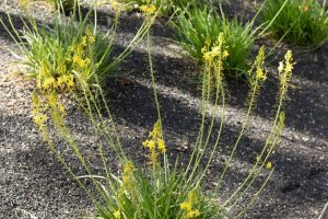 A group of African bulbine plants with yellow flowers in the gardens.